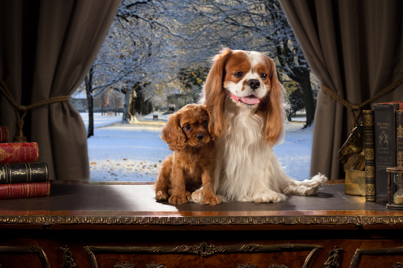 Cavalier King Charles Spaniel<br>CH Jewelcroft's CEO CD RA