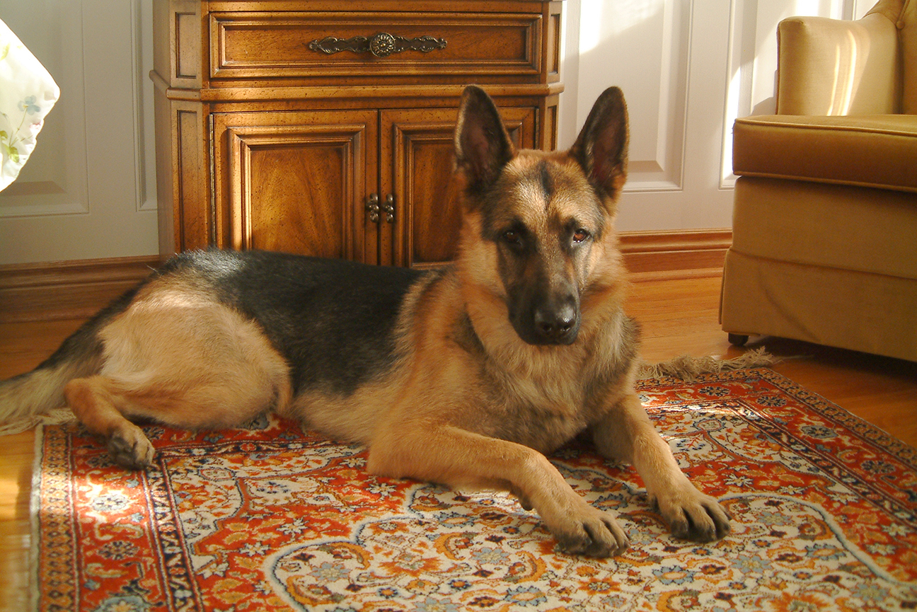 German Shepherd Dog<br>(PEN 12345678) RN