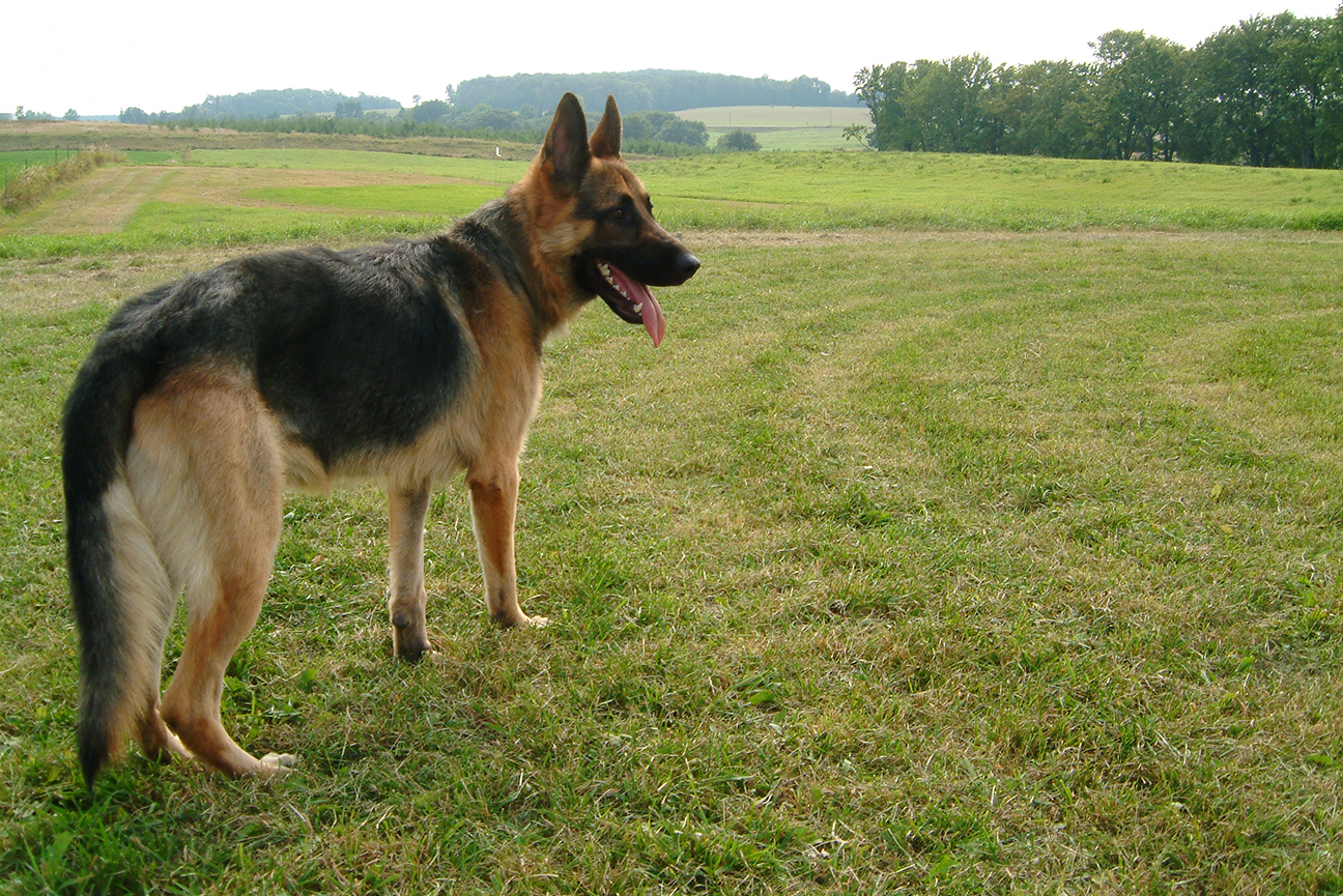 German Shepherd Dog<br>Kathgo's Kanadian Klondike CDX